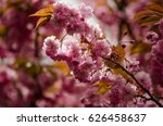 branch of blossoming japanese... | Shutterstock . vector #626458637