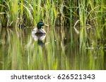 Drake   Male Mallard   Duck ...