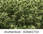 field of green marijuana weed... | Shutterstock . vector #626661713
