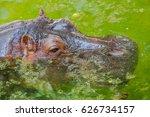 Hippopotamus Stand On Water Fo...