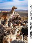 lamas lamas herd in eduardo...