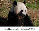Adorable Panda Bear Snacking O...