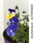 Pot With Blossoming Viola With...