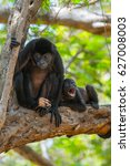 Small photo of Mantled howler (Alouatta palliata). Female of golden mantled howling monkey with baby on the tree.