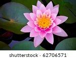 Pink Lotus Blooming In The...