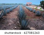 mexican agave plantation   Shutterstock . vector #627081263