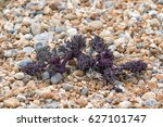 newly sprouted sea kale on...   Shutterstock . vector #627101747