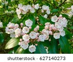Small photo of Kalmia Mountain Laurel flowers at Candler Lake, Emory University, Hahn Woods, Atlanta, Georgia