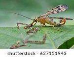 great meal of panorpa communis. | Shutterstock . vector #627151943