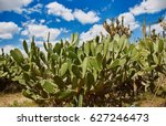 Cactuses Under Mexican Sky