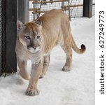 Small photo of Cougar Puma concolor, also commonly known as mountain lion, puma, panther, or catamount