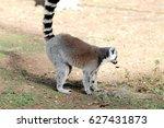 Raccoon On Four Legs With A...