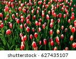 full bloom of red tulips in...   Shutterstock . vector #627435107