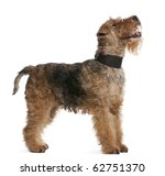 Welsh Terrier  7 Years Old ...