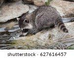 newborn raccoon  procyon lotor  ... | Shutterstock . vector #627616457