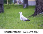 Seagull On Grass Portrait In...