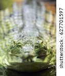Small photo of Critically Endangered gharial (Gavialis gangeticus), also knows as the gavial