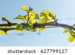Young Leaves In The Vineyard I...