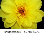 Yellow Dahlia Flower Close Up
