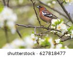 common chaffinch of flowers... | Shutterstock . vector #627818477
