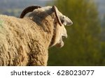 Small photo of Sheep is baaing on the field, the photo was taken from backside.