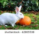 Albino Flemish Giant Rabbit...
