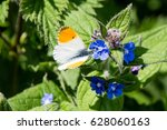 Male Orange Tip Butterfly  ...