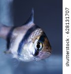 Small photo of Aquarium fish, Barbus tetrazona