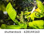 mantis on the leaves and rain | Shutterstock . vector #628144163