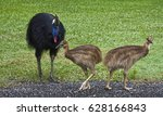 Two Cassowary Chicks And Their...