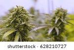 cannabis indica purple urkle... | Shutterstock . vector #628210727