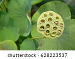 Lotus Seed Pods In The Garden...