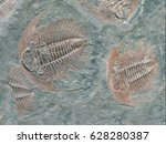 fossil of trilobite   detail