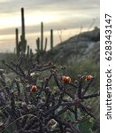Cactus Flowers Blooming In The...