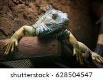 Iguana Nice Portrait With Smile