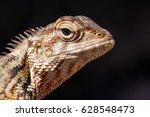 Agamid Lizard. Agamidae. Asian...