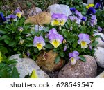 Violas And Rocks