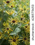 Small photo of Rudbeckia subtomentosa Henry Eilers