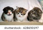 cat brothers scottish fold ... | Shutterstock . vector #628650197