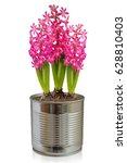 hyacinth flower pot isolated... | Shutterstock . vector #628810403
