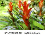 Bromeliads In Garden. Red...