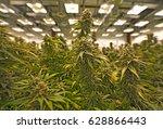 flowering marijuana stalks... | Shutterstock . vector #628866443