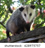 Pregnant Opossum On Backyard...