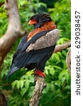 Small photo of Bateleur Eagle, Terathopius ecaudatus, brown and black bird of prey in the nature habitat, sitting on the branch, Kenya, Africa. Wildlife scene form nature. Animal behaviour in forest.
