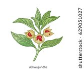 ashwagandha. color medical... | Shutterstock .eps vector #629051027
