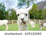 Close Up Of White Alpaca...