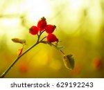 vibrant rosehip in warm... | Shutterstock . vector #629192243