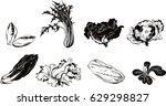 escarole salad plant. | Shutterstock .eps vector #629298827
