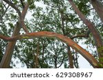 Rainbow Eucalyptus Trees  Maui...