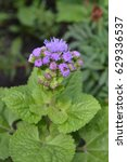 Small photo of Ageratum Mexican. Ageratum houstonianum. Ageratum houstonianum. Garden plants. Flower. Close-up. Vertical photo